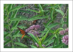 Butterfly & Marsh Milkweed